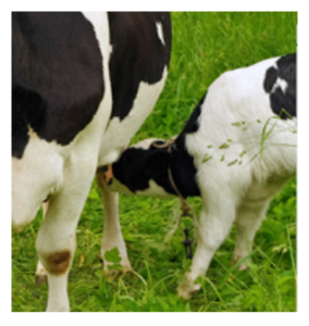 calf nursing cow image