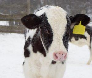 Calf Standing In Snowfall image