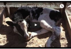 newborn calf with rapid shallow breathing