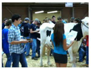cattle judging at the Junior Dairy Management Contest