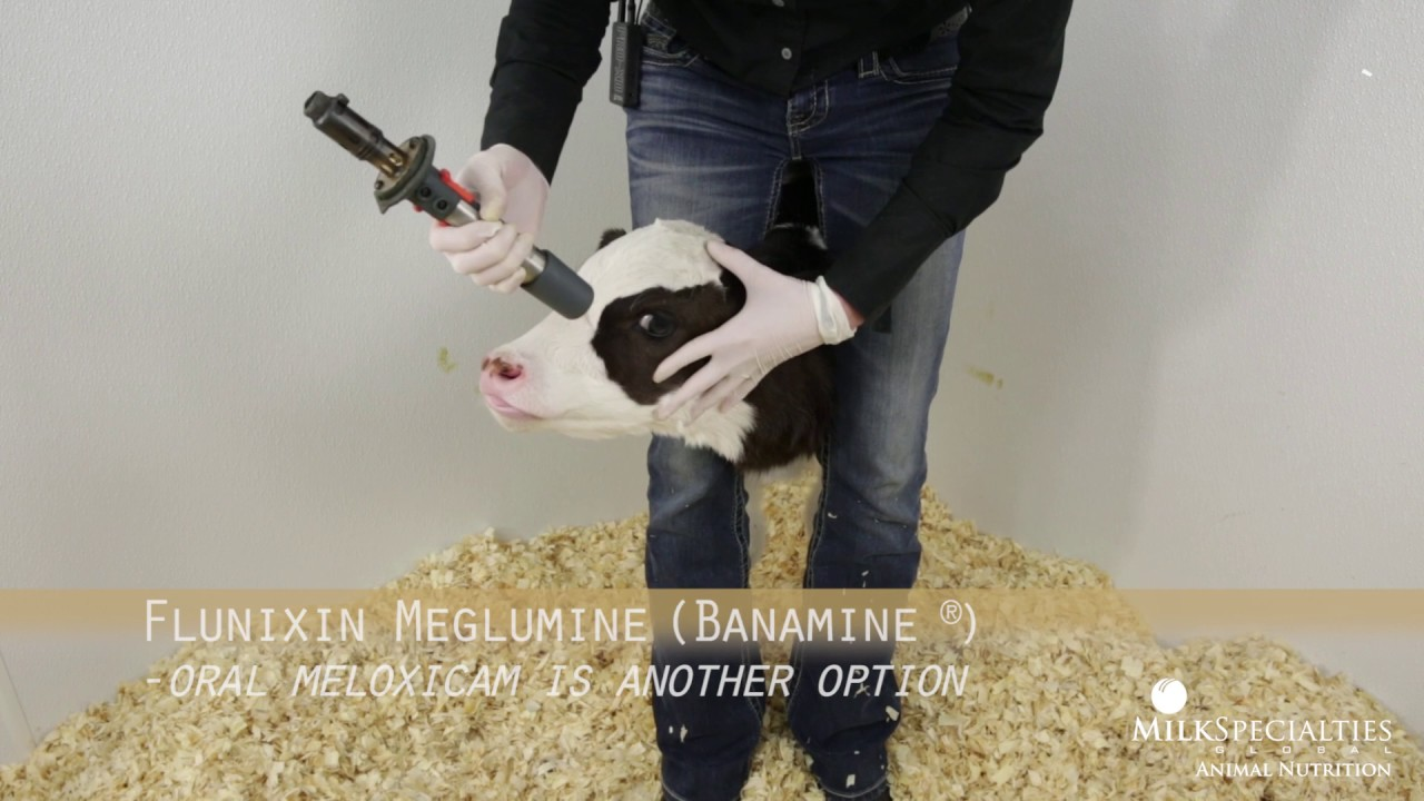 Calf Management Tips: Lidocaine Blocking & Dehorning