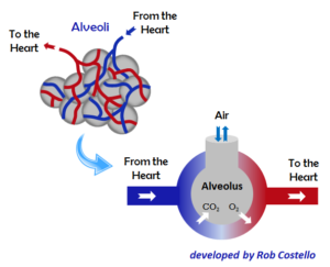 Alveoli: Air and Blood Flow in the Lungs