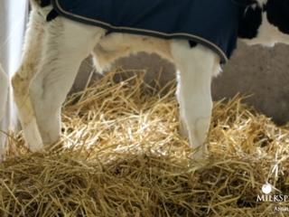 Calf Management Tips: Nesting Score