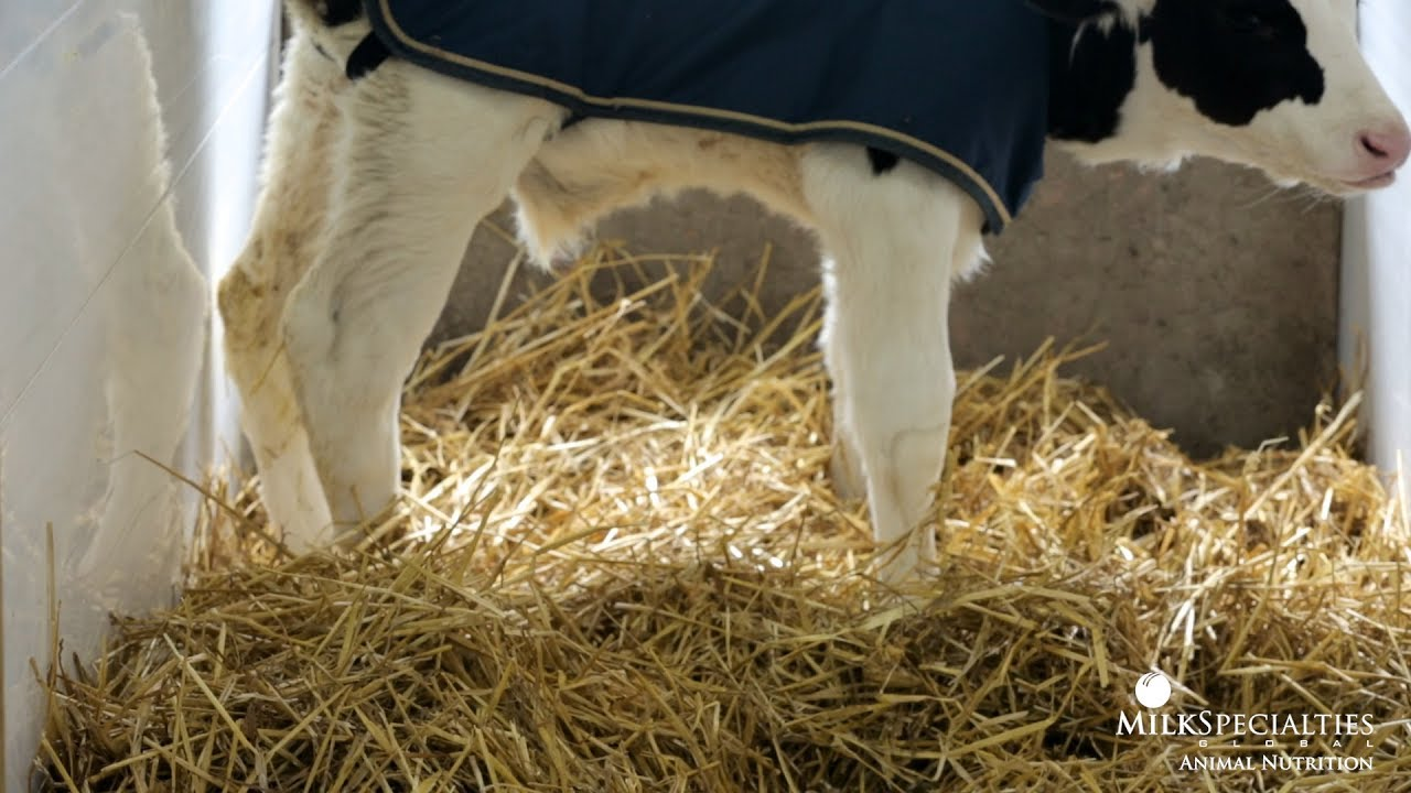Calf Management Tips: Nesting Score